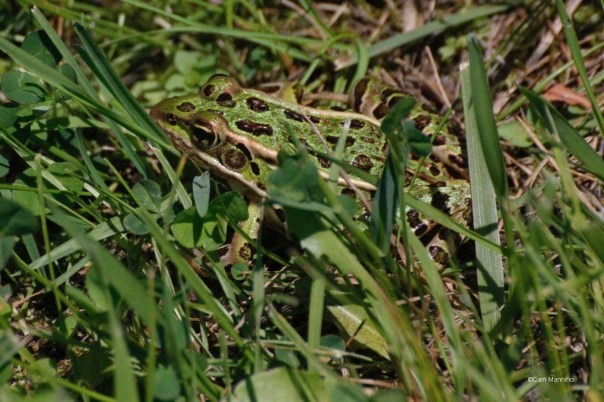 Leopard Frog CL