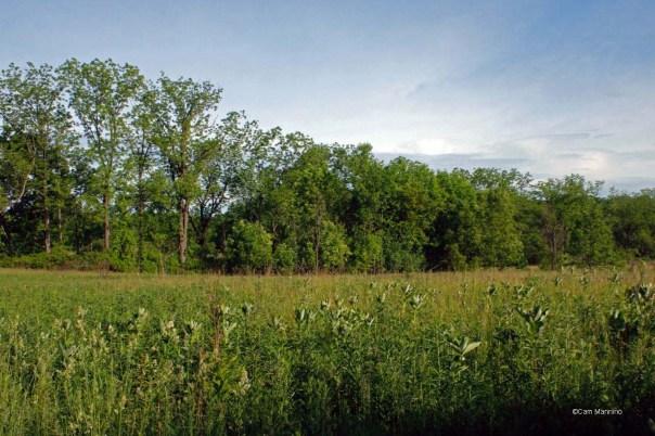 Milkweed eastern meadow