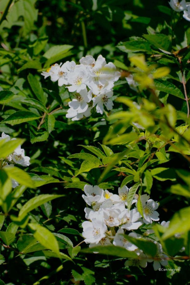 Multiflora Rose CL