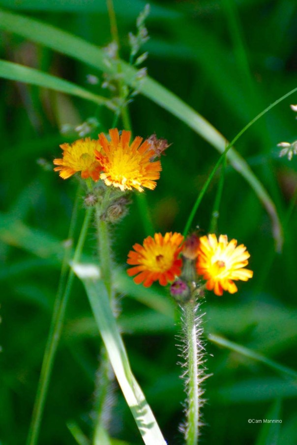 Orange Hawkweed or Devil's Paintbrush