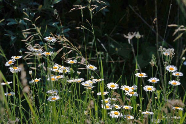 Ox-eye Daisies CL