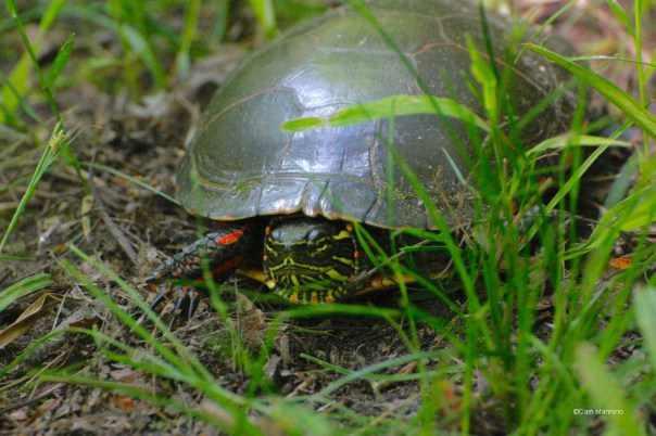Painted Turtle male? CL