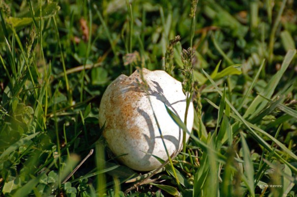 Red-tailed Hawk egg?
