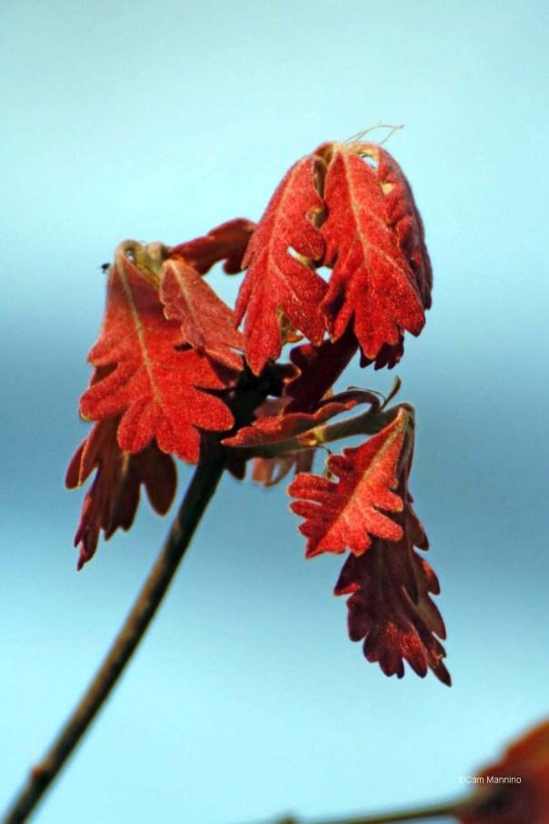 Tiny Red White Oak leaves
