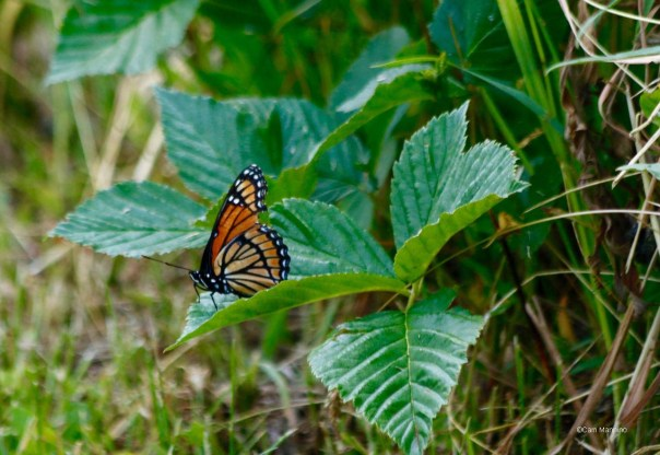 Viceroy w torn wing CL