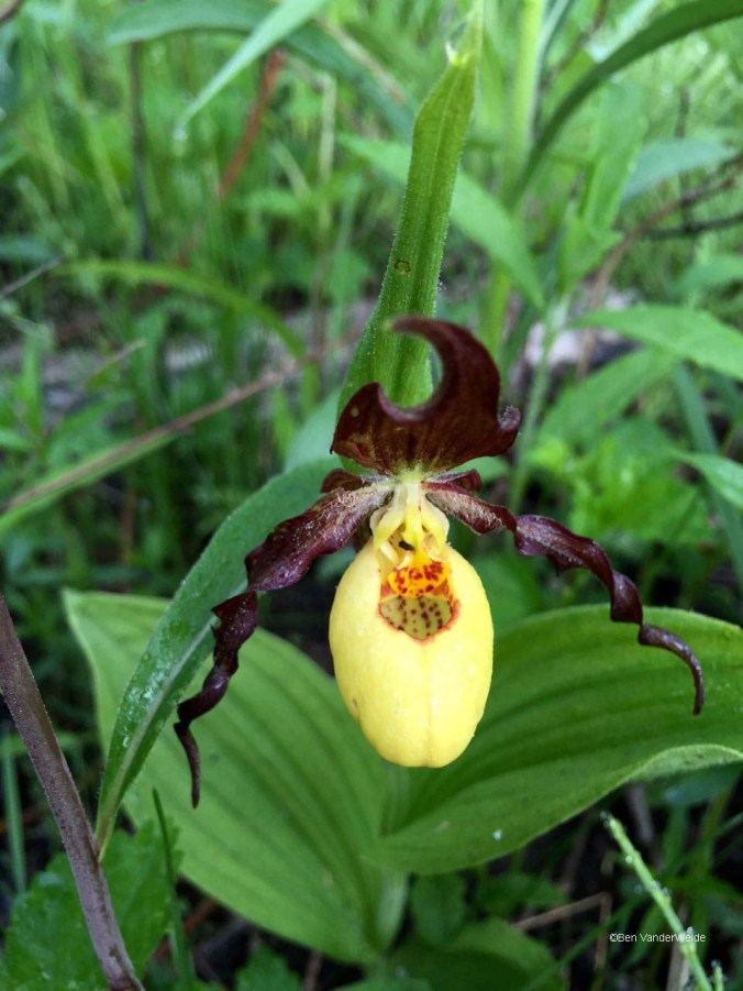 Yellow Ladyslipper - Ben