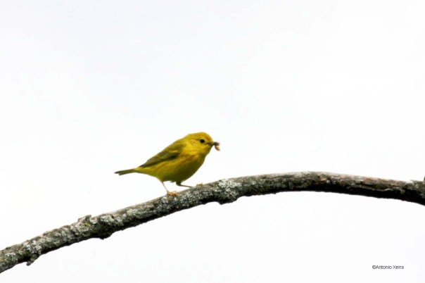 Yellow Warbler male w food
