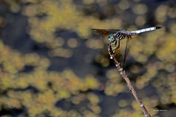 Blue dasher male dragonfly Pachydiplax longipennis