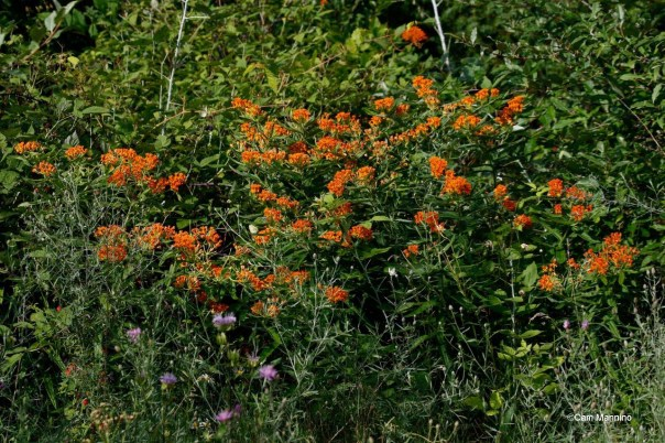 Butterfly Milkweed grows taller here than I've ever seen it.