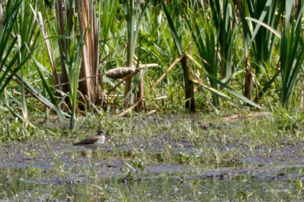 Common Sandpiper in the Marsh?