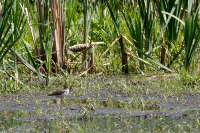Common Sandpiper in the Marsh?