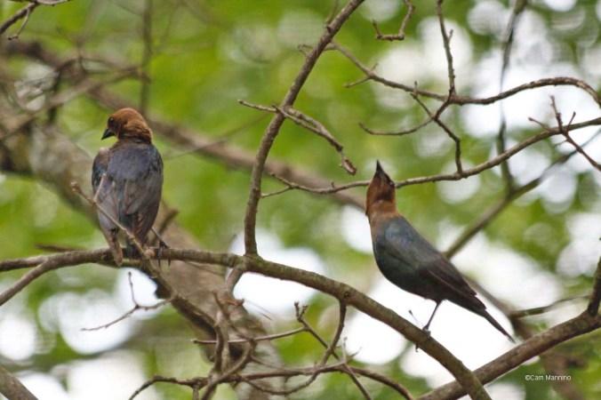 Cowbird males posturing