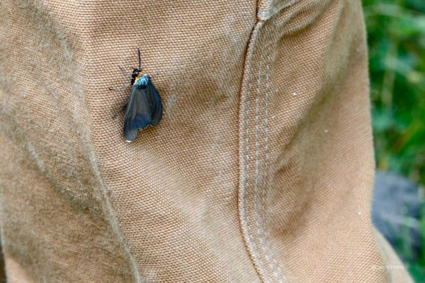 Ctenucha Moth lands on Ben