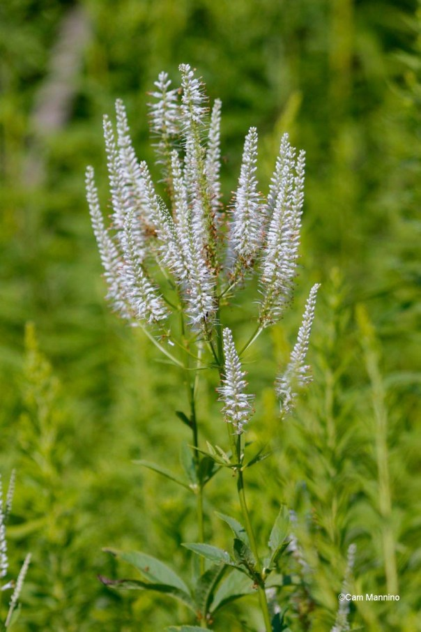 Culver's Root – Version 2