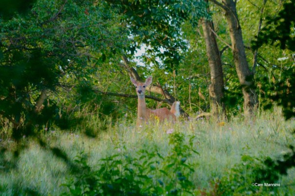 Deer at SCR second time
