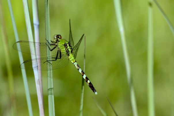 Eastern Pondhawk Dragonfly young