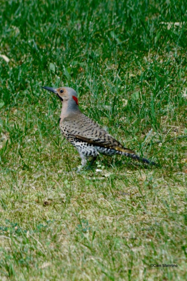 Flicker male in the grass