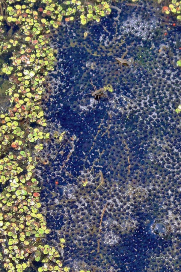 Frog eggs w water strider