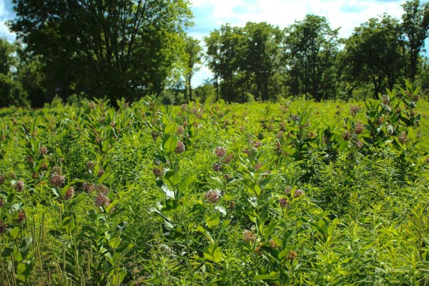 Patch of common milkweed