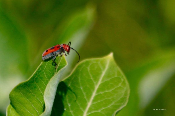 Red Milkweed Beetle (Family Cerambycidae)