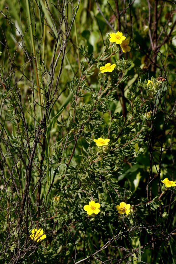 Shrubby Cinquefoil Wet Prairie