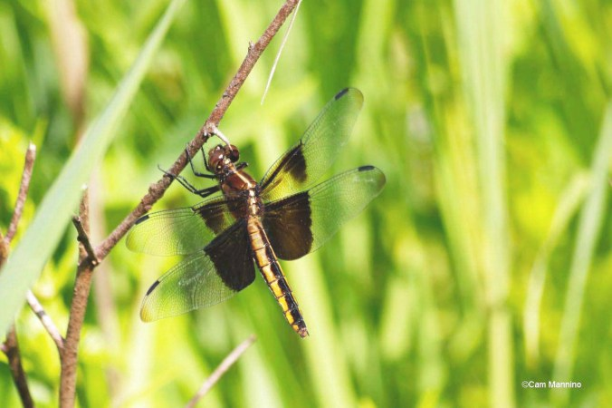Widow Skimmer Wet Prairie_edited-1