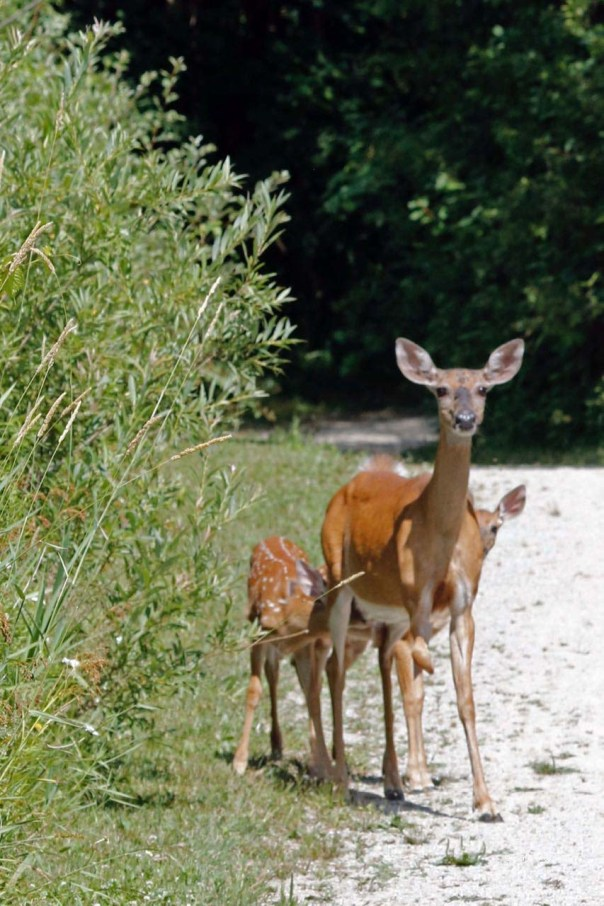 Yound doe w two fawns