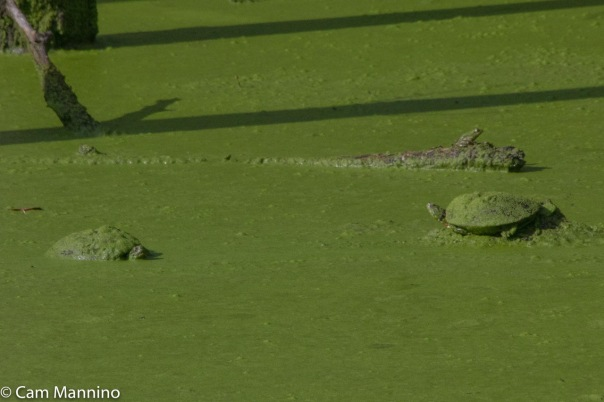 2 turtles and frog playground pond