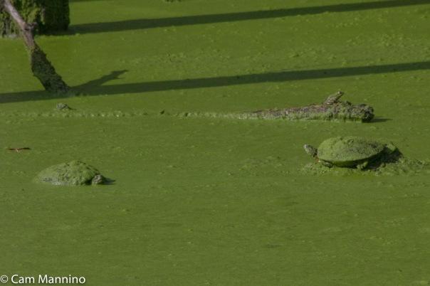 2 turtles and frog playground pond