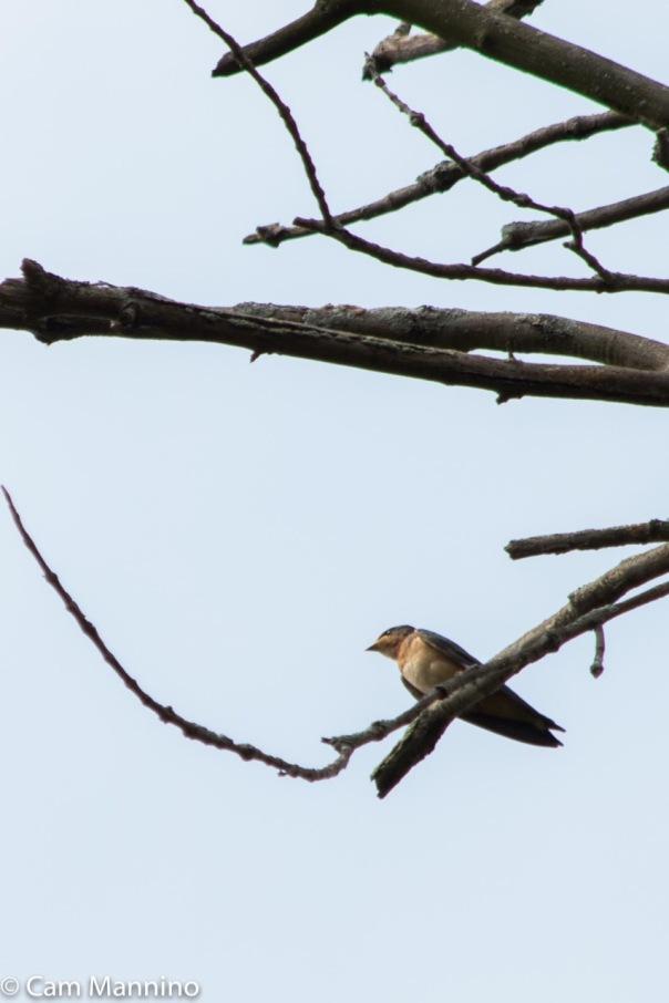 Barn Swallow BC