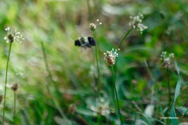Bee among the thimble weed