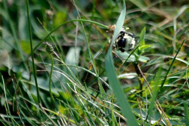 Bee riding thimbleweed