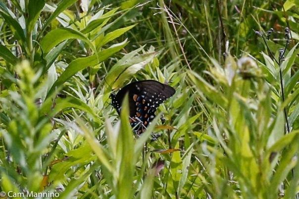 Black Swallowtail female