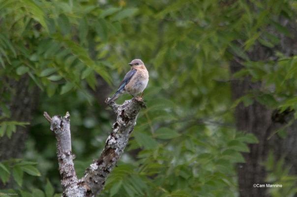 Bluebird juvenile molting BC