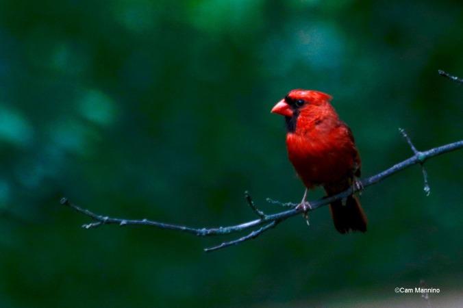 Cardinal 3GC (1)
