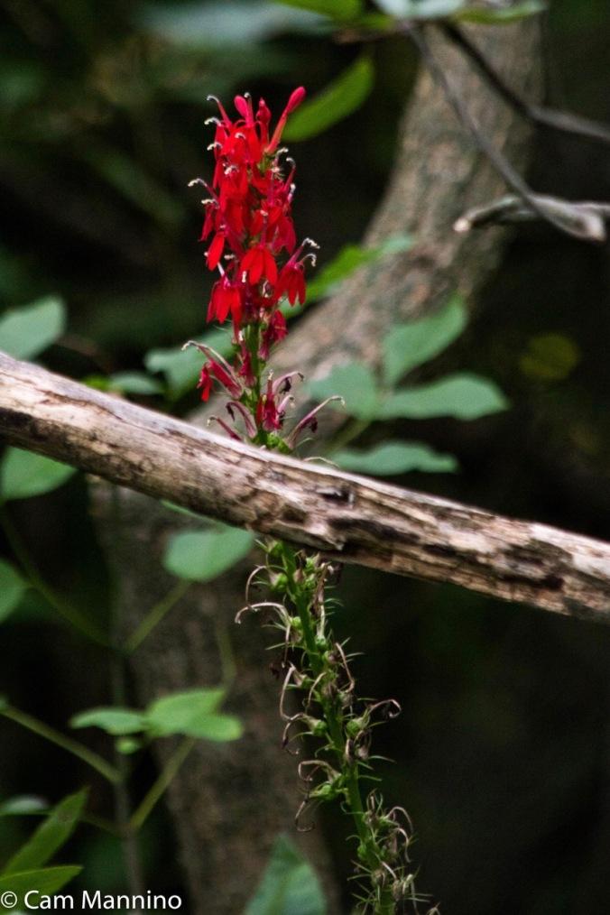 Cardinal flower single