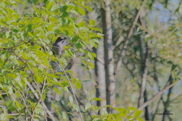 """A young Gray Catbird """"miaous"""" from bushes near at the edge of the Old Field."""