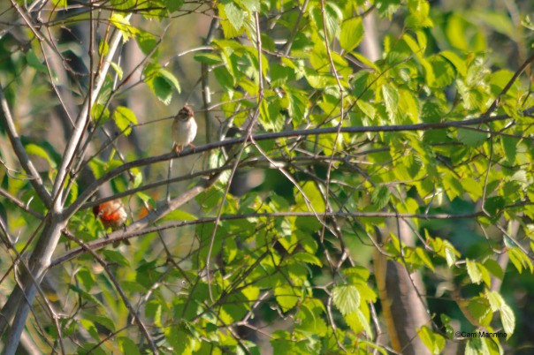 Chipping sparrow and House Finch