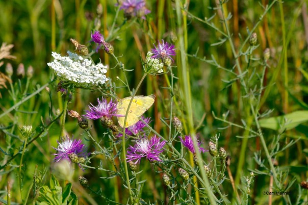 Clouded Sulphur on Spotted Knapweed