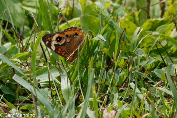 Common Buckeye butterfly-2