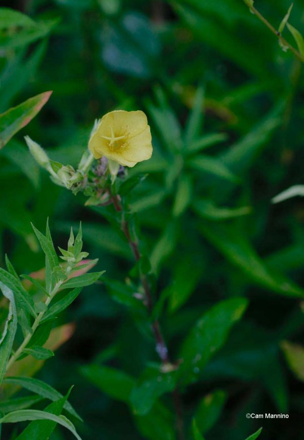 Common Evening Primrose blooms as the sun goes down until morning.