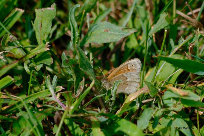 Common ringlet butterly