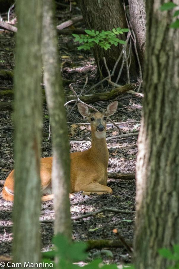 Deer in dry vernal pool BC