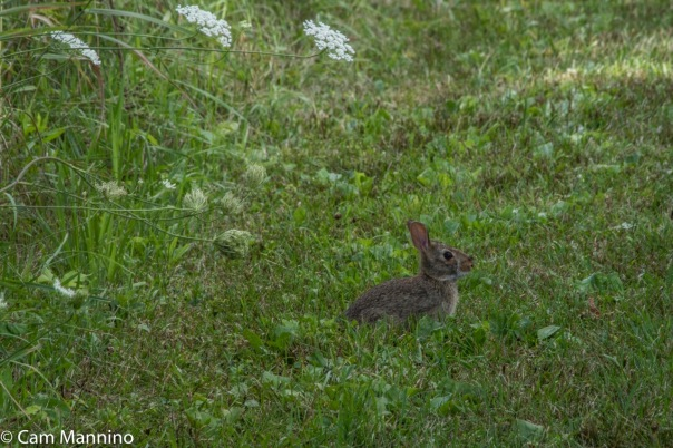 Eastern cottontail rabbit bc
