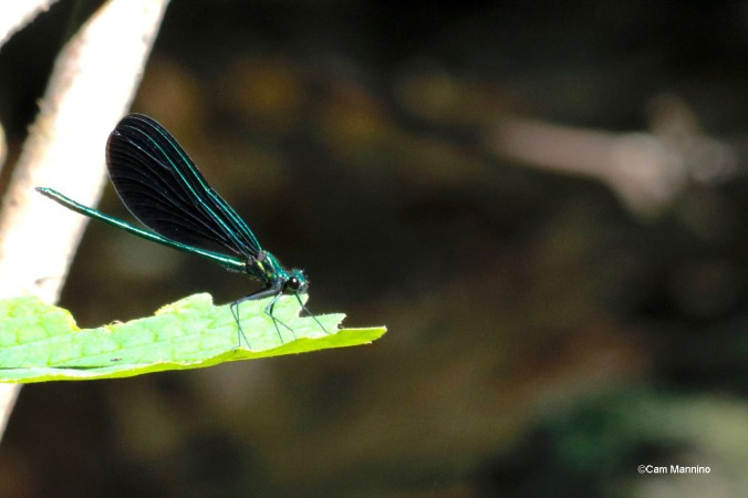 Ebony Jewelwing Damselfly male (1)