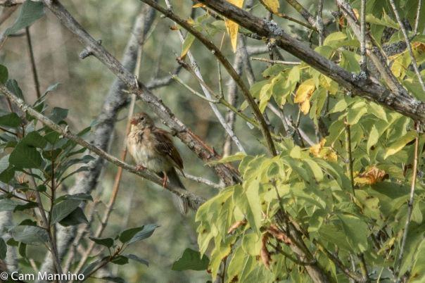 Field Sparrow BC