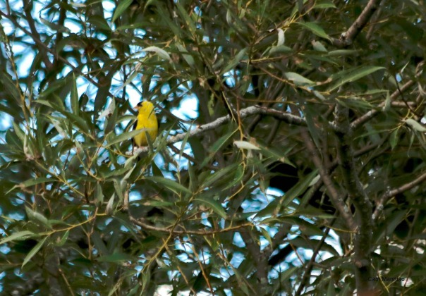 Goldfinch in willow GC