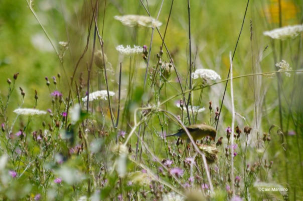 Goldfinch riding Queen Anne's Lace