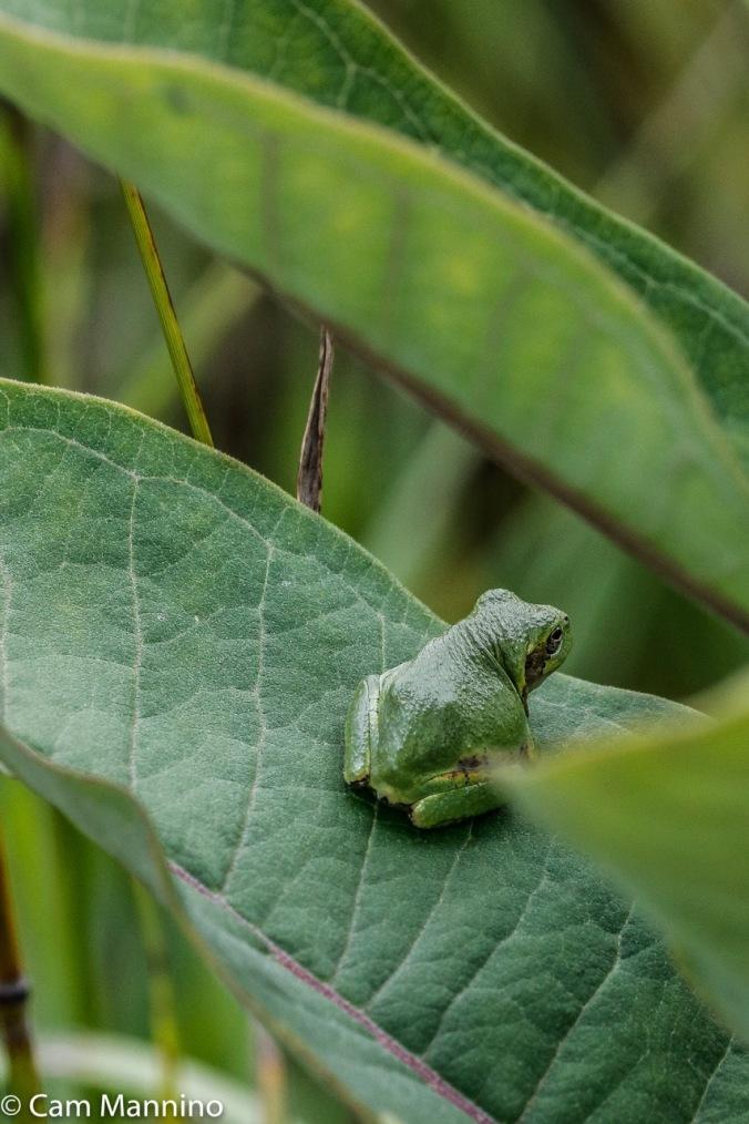 Gray treefrog baby BC