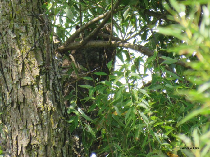Great Horned Owl GC Antonio 8 2016